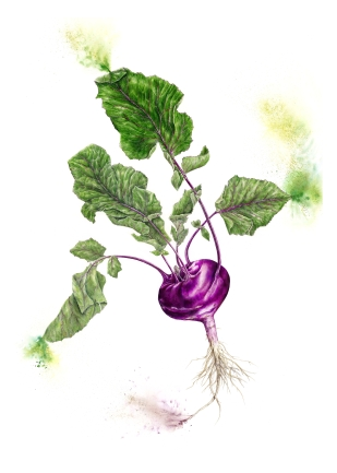 Purple Kohlrabi - Watercolour and coloured pencil