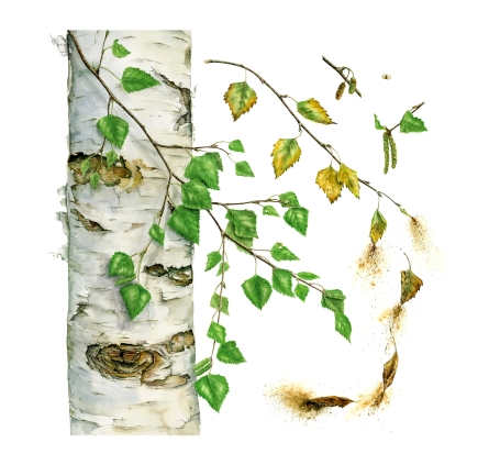 Betula Pendula, Silver Birch - Watercolour