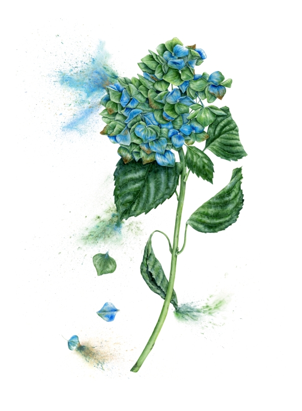 Bela Blue Hydrangea - watercolour