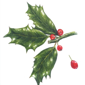 Holly - coloured pencil