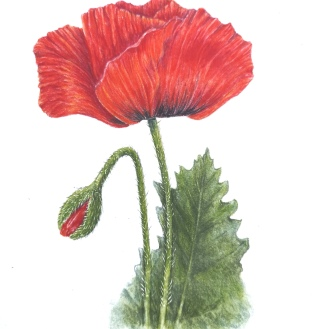 Poppy - coloured pencil